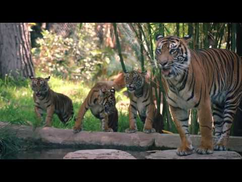 Tiger Cubs Playing With Mom