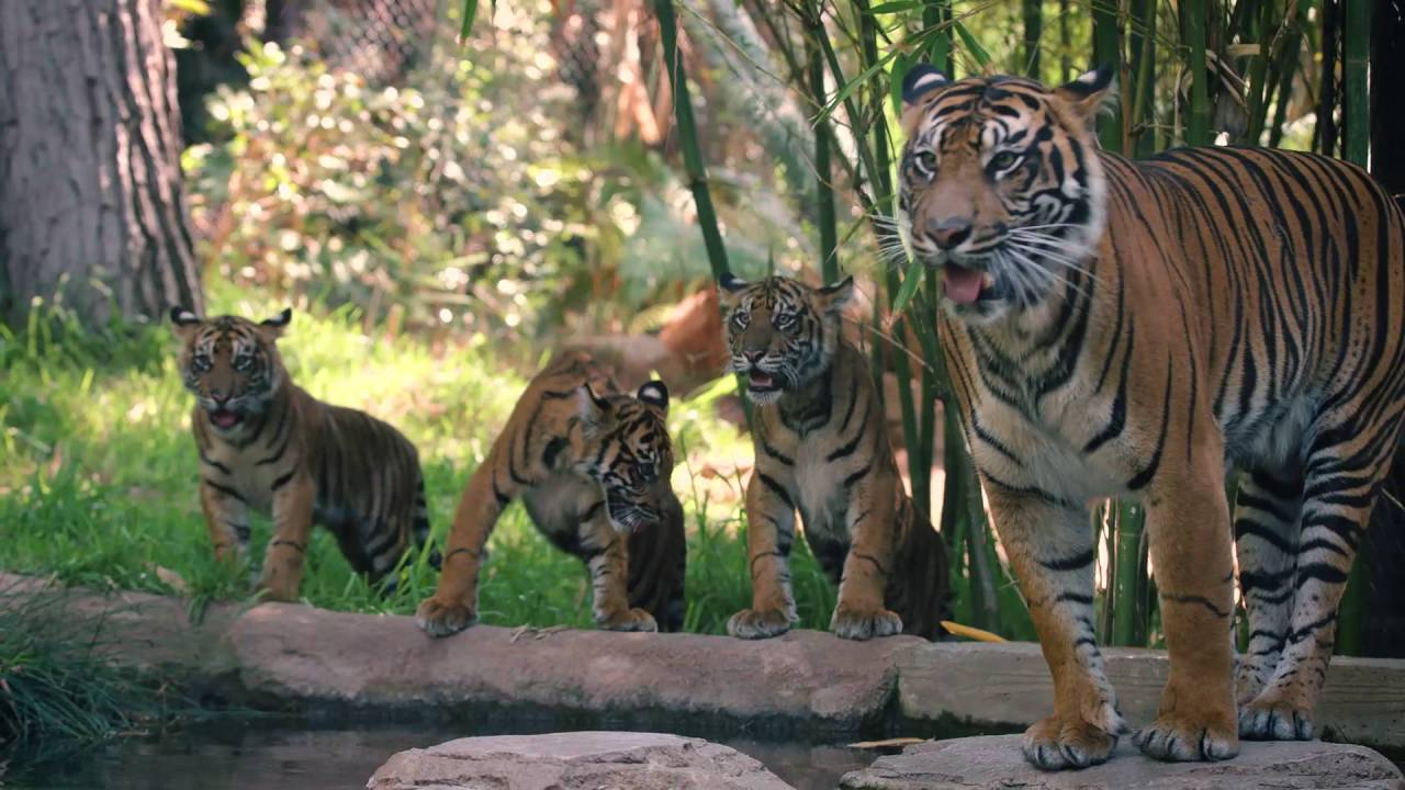 Tiger Cubs Playing With Mom - YouTube