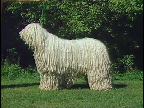 Komondor - AKC Dog breed series