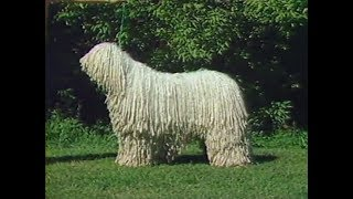 Komondor  AKC Dog breed series