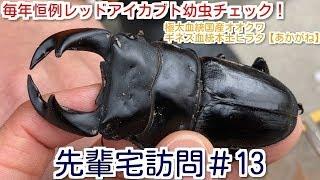 先輩宅訪問して毎年恒例のレッドアイレッドボディカブト(江田島レッド...