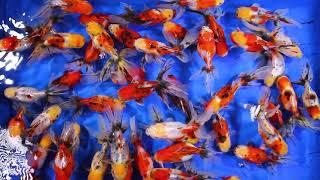 Download Goldfish Style From Thailand Calico Oranda Size 5