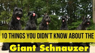 10 THINGS YOU DIDNT KNOW ABOUT THE GIANT SCHNAUZER #giantschnuzers #giantschnauzerpuppies