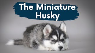 Miniature Husky: The Complete Video Guide to The PocketSized Siberian Husky!