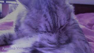 Залипательное видео/Кот вылизывается/Замедленная съёмка