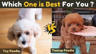 Toy poodle vs Teacup Poodle  Comparison Between Two Small Poodle Dog breeds