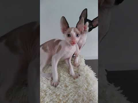 Kittens Cornish Rex ! LOve