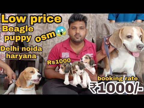 Low Price Beagle Puppy Available In Delhi And India..
