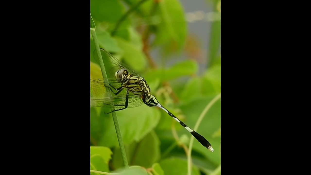 Green Marsh Hawk   Slender Skimmer   Orthetrum Sabina   Dragonfly