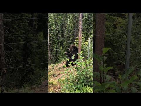 Boo Bear Has Bear-y Good Scratch || ViralHog