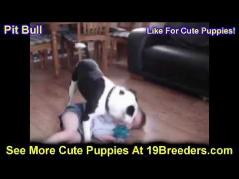 Pitbull, Puppies, Dogs, For Sale, In Huntington, County, West Virginia, WV, 19Breeders, Morgantown