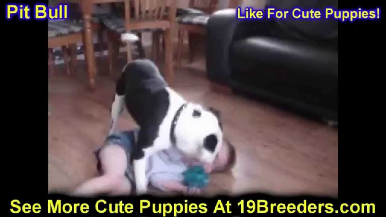 Pitbull, Puppies, Dogs, For Sale, In Huntington, County ...