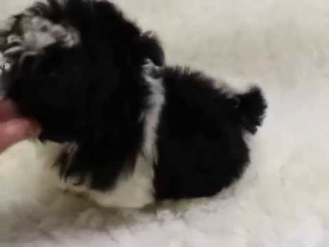 Black White Imperial Shih Tzu Puppies For Sale At Www