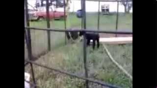 Rottweiler Guards Sucker Lamb From Bratt Punks