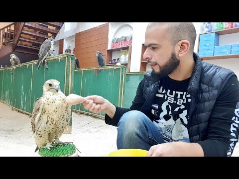 How to be like a falcon?