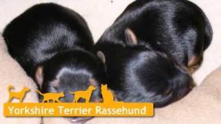 Yorkshire Terrier Welpen In Velen