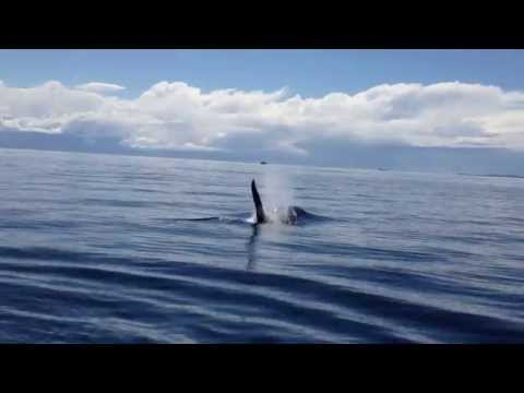 Orka (Killer whale) komt even langs de boot. Killer Whale Pops up right next to the boat.