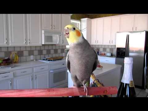 Cockatiel Whistling 2