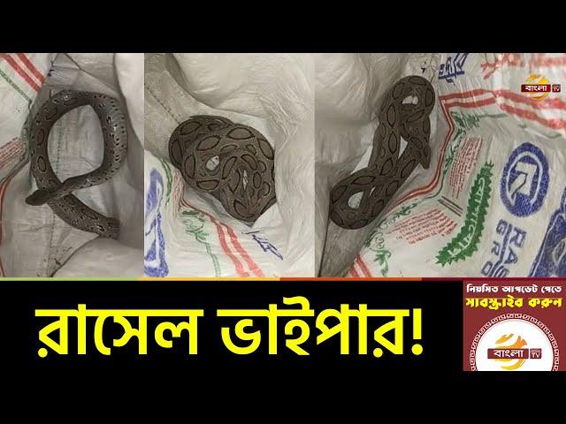ভোলায় পৃথিবীর ভয়ংকর বিষধর রাসেল ভাইপার সাপ উদ্ধার | Russell's Viper Snake | Bhola News | Bangla TV