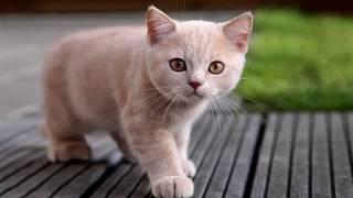 Порода кошек. Британская короткошерстная кошка.Милейшее создание