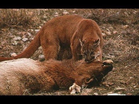 Fearless predator - Cougar attack bears 008e1c324