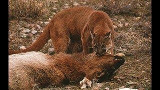 Fearless predator - Cougar attack bears, deer and jaguar - animals attack