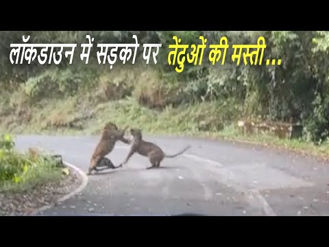Leopard Playing With Lady Leopard on The Road In India - Live Video