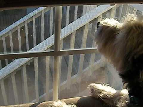 Cairn Terrier Inside Dog VS Outside Birds