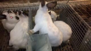 Содержание кроликов в промышленных клетках(4 часть. Как работает маточно-откормачная модель)