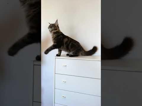 Кот мейн - кун Grand - 5 мес. - вес. 5 кг.200 грамм.