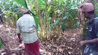 Full Mixing Lime Powder Water Drencing From Suchi Plantation - Kerala