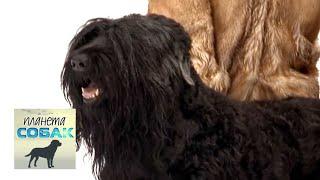 Черный терьер. Планета собак 🌏 Моя Планета