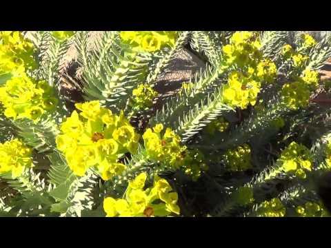 Gopher Spurge   plant tip in 30 sec