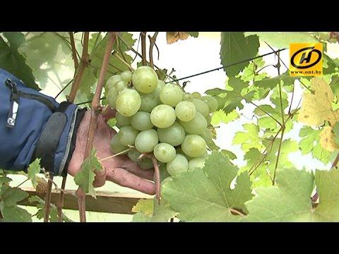 Пенсионер-блогер из Оршанского района выращивает более 150 сортов винограда