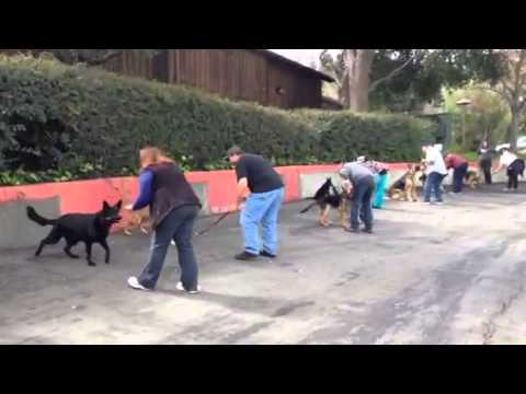 Training Day with Bay Area German Shepherd Rescue Meet Up