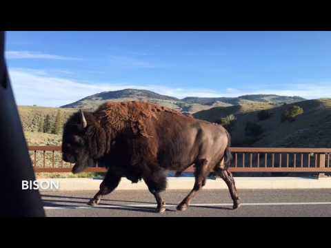 Yellowstone National Park's canyons, geysers, bears and elk
