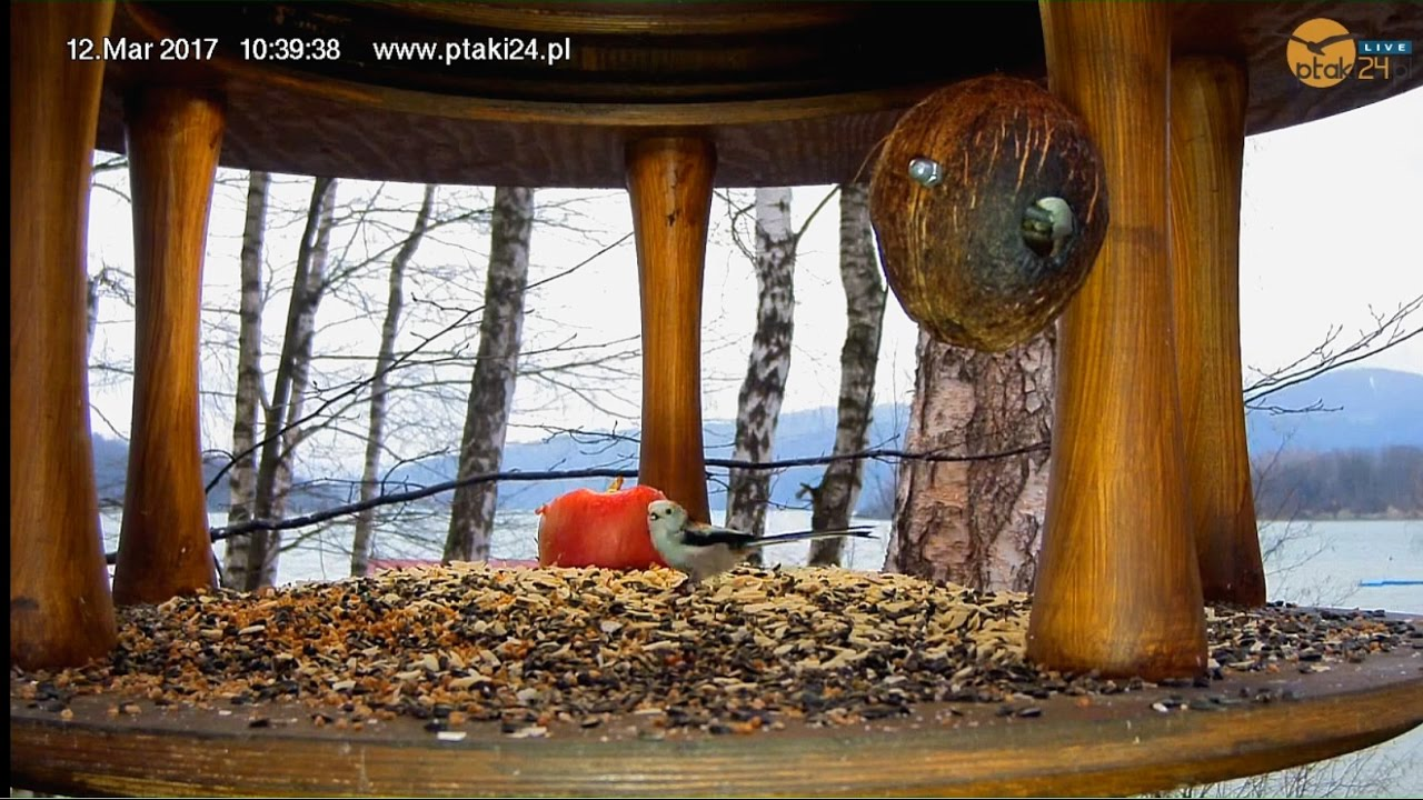 Raniuszki w karmniku nad Soliną w Bieszczadach