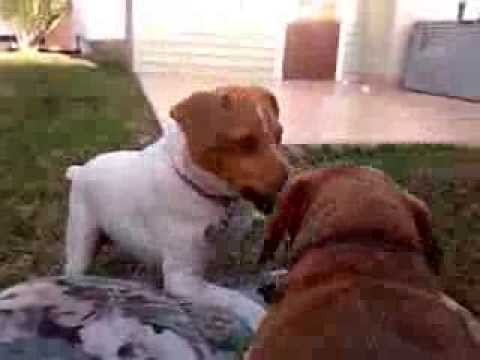 Dog Fighting: Jack (Parson) Russell Terrier Vs. Miniature Dachshund.