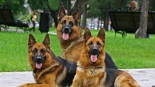 Обучение собак команде фас,чужой (Кусачка)