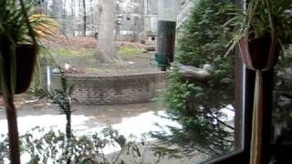 Squirrel Taking A Spin On A Yankee Flipper Bird Feeder.