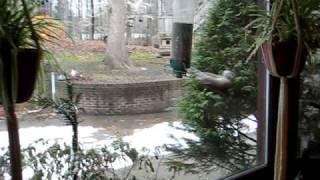 Squirrel Taking A Spin On A Yankee Flipper Bird Feeder.