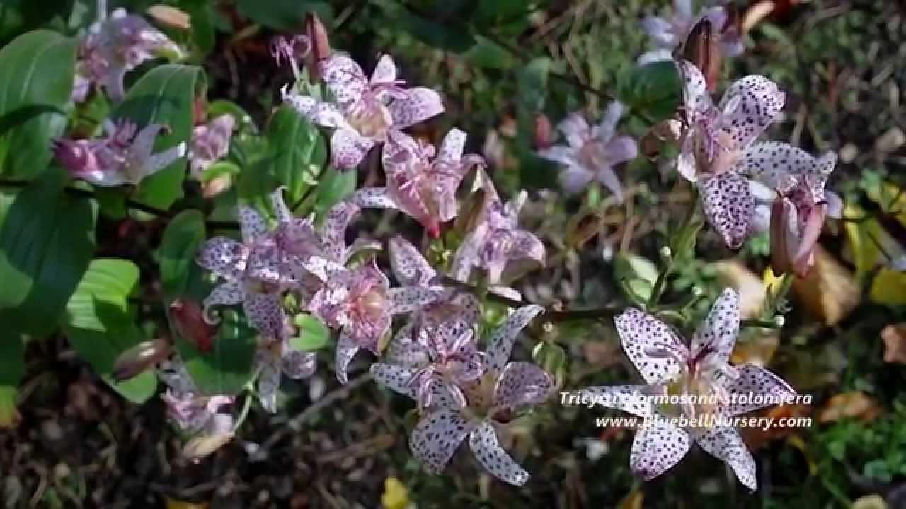 Tricyrtis formosana stolonifera toad lily youtube izmirmasajfo