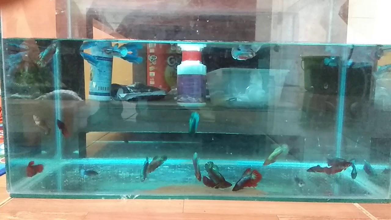 Rp. 5.000/ekor | Ikan Cupang Besgel & Cello Umur 3 bln ...