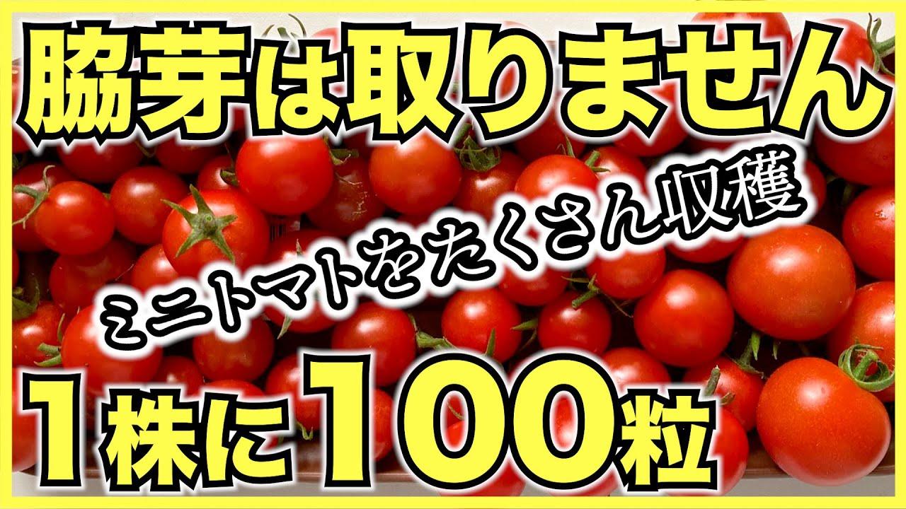 ミニトマトの放任栽培でズボラな人でも簡単にたくさん収穫【デメリットも】