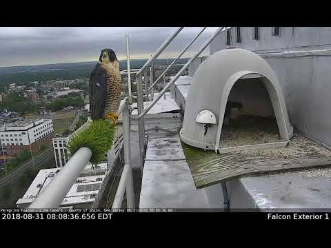Peregrine Falcons Pair Bond Union County Courthouse