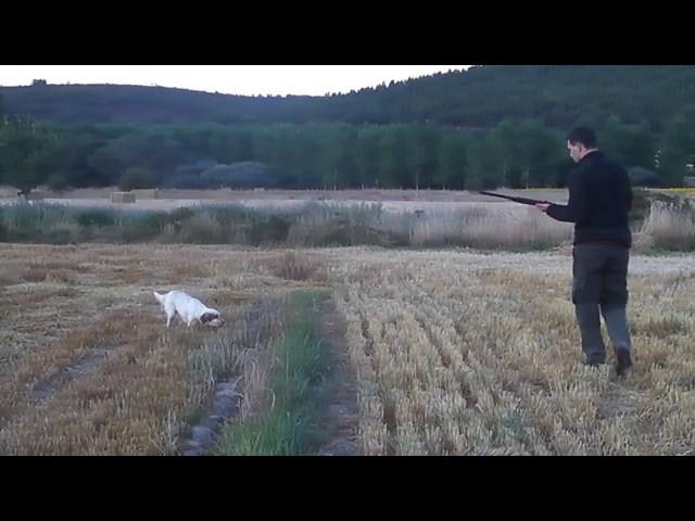 Cazando codornices con setter inglés | Vídeos de caza de codorniz
