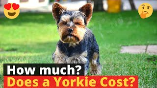 How much does a Yorkshire Terrier cost? Should you get it at this price?