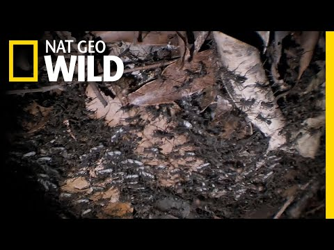 These Army Ants Demand Corpses | Nat Geo Wild