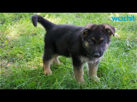 5 Training Tips For German Shepherd Puppies