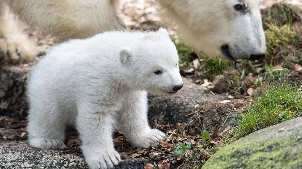 First glimpse of baby polar bear at Munich zoo - YouTube